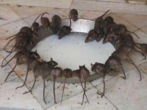 krysa